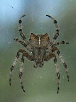Pictures of Cat Face Spiders http://www.trygve.com/blog_2009_10.html