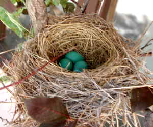 blue eggs in the robins nest